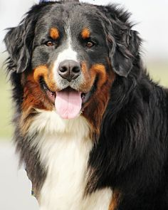 Bernese Mountain Dog The Beauty | Flickr - Photo Sharing!