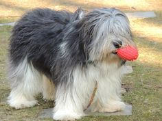 The Shetland Sheepdog originated in the and its ancestors were from Scotland, which worked as herding dogs. These early dogs were fairly sm Corgi Breeds, Rare Dog Breeds, Polish Lowland Sheepdog, Shetland Sheepdog Puppies, Bearded Collie, Herding Dogs, Old English Sheepdog, Wild Dogs, Dog Names