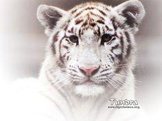 tiger | Tiger Desktop Wallpaper - White Tiger - Bengal and Siberian Tigers ...
