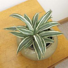 Bl hende zimmerpflanzen farbige deko ideen mit pflanzenarten plants pinterest bl hende - Zimmerpflanzen groay ...