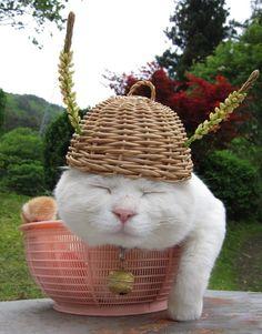 Shiro the cat! http://kagonekoshiro.blog86.fc2.com