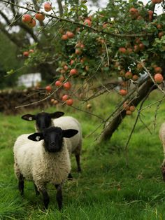Sheep in an orchard / Image via: Fresh Daily #fall