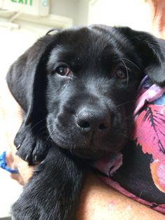 Mind Blowing Facts About Labrador Retrievers And Ideas. Amazing Facts About Labrador Retrievers And Ideas. Black Puppy, Black Lab Puppies, Cute Puppies, Cute Dogs, Dogs And Puppies, Doggies, Schwarzer Labrador Retriever, Black Labrador Retriever, Labrador Retrievers