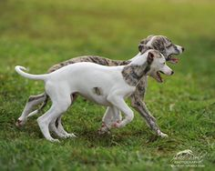 ~ Whippet ~ By Julie Poole Italian Greyhound Puppies, Whippet Puppies, Whippets, Dogs And Puppies, Beautiful Dog Breeds, Beautiful Dogs, Magyar Agar, Animals And Pets, Cute Animals