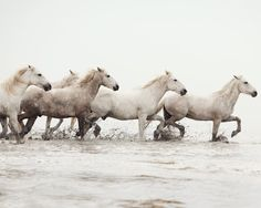 The wild, white horses of Camargue, France [11 pictures]