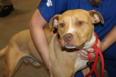 Lugnut: Beautiful 9-month-old pit mix is out of time at high-kill SC shelter