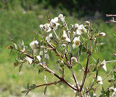 Pfeifenstrauch, kleinblättrig (Pflanze)  Philadelphus microphyllus - Zweig mit Blüten