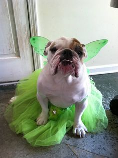 My baby is a model! Dog Halloween Costume Tinkerbell Fairy Costume by partiesandfun, $16.00