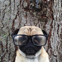Pug portrait #puglife #pugfanatic