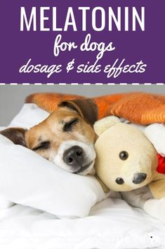 Melatonin for Dogs: Safety, Side Effects, & Dosage for Your Dog Melatonin For Dogs: Safety, Dosage, And Side Effects. Thinking about giving your dog some melatonin to get them snoozing? We'll explain all about canine melatonin here! Dog Training Books, Dog Training Tips, Leash Training, Melatonin For Dogs, Gatos Cat, Coconut Oil For Dogs, Dog Health Tips, Pet Health, Health Care