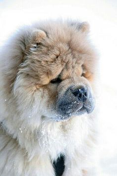 Chow Chow  cute puppies and dog training tips by KaufmannsPuppyTraining.com