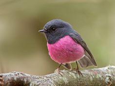 """phoebe-oiseau: """""""" Pink Robin (Petroica rodinogaster) par Tim Collins Tasmania """""""""""