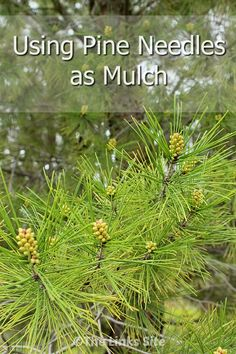 There are many benefits of using pine needles as mulch! thelinkssite.com