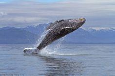 Humpback Whales off coast of Alaska via Daily Mail.co.uk