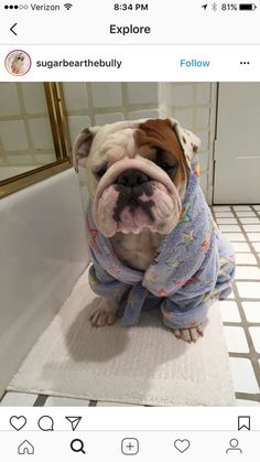 This English Bulldog in a robe is absolutely adorable! www.bullymake.com #Buldog