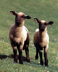 my sheep were Baby and Dotty Black Faced Sheep, Feed My Sheep, Suffolk Sheep, Sheep Illustration, Ribbon Display, Sheep And Lamb, Farm Yard, Livestock, Cute Baby Animals