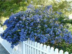 California Lilac (Ceanothus shrub). Evergreen & drought-tolerant. Profuse, richly colored blue to purple flowers (depending on variety) bloom over lush foliage. Attracts butterflies to the garden. Outstanding as a landscape accent, screen or wind break. >>Already know they grow well in my area.