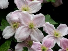 13-MAY-2004 - 0337 | by Dave Hitchborne - My favourite clematis, Nelly Moser. Vigorous grower.