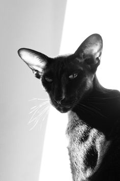 black and white photo of a black oriental shorthair cat See more black and white cat at - Catsincare.com