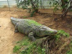 #Cocodrilo. / #Crocodile. #animals