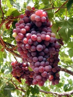 Google Image Result for http://www.habeeb.com/images/lebanon.photos/lebanon.grapes.34098.jpg