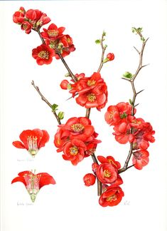 Botanical Illustration - Roger Reynolds Botanical Art