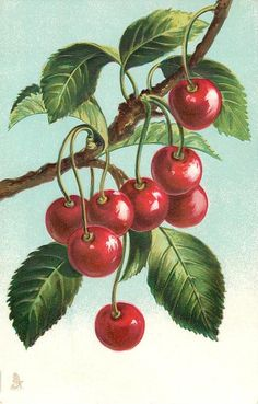 Cherries hanging from branch. Possibly Catherine Klein. Circa 1910.