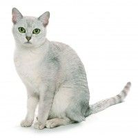 #dogalize Cat breeds: the Burmilla cat, characteristics and personality #dogs #cats #pets
