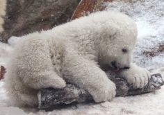 Polar Bear cub licks in the snow 3