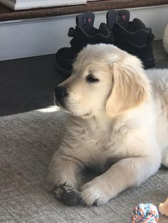 Golden Retriever mix breeds are the most saught after breeds of 🐶. Find out which Golden Retriever mix is perfect ❤️ for you with 41 mix breed PICTURES. Fluffy Puppies, Baby Puppies, Dogs And Puppies, Doggies, Beagle Puppies, Chien Golden Retriever, Golden Retrievers, Funny Dogs, Cute Dogs