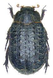 Trogidae Paläarktische Region