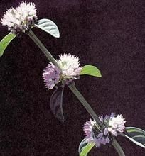Herb Seeds - Pennyroyal Seeds