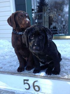 Black Labrador puppy & chocolate Labrador puppy...first snow!