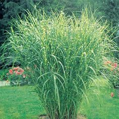 I love zebra grass. Thrives in Indiana with minimal care. Cut back in winter or early spring before new growth appears.
