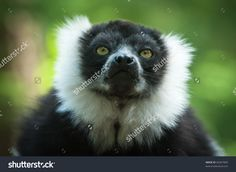 Close-Up Of A Black And White Ruffed Lemur Стоковые фотографии 66367909 : Shutterstock