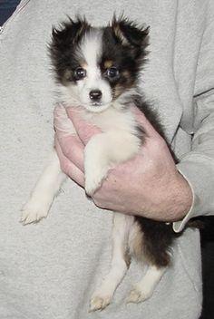 Teacup Toy Australian Shepherd. Mini Archie.