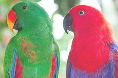 The Eclectus parrot is not popular for its exotic looks only- their lovable personalities and calm demeanor make them a perfect family pet! Parrot Pet, Parrot Toys, Parrot Bird, Exotic Birds, Colorful Birds, Exotic Pets, Exotic Animals, Tropical Birds, Bird Breeds