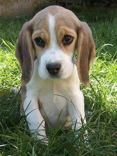 Baby beagle eyes