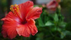 Hibiscus  #plant #hibiscus #photography