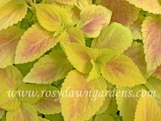 """Coleus 'Golda' (large 18""""+; upright)  Large, rounded, deeply textured leaves are dense and substantial. Bright light will bring out the deep golden glow and a pale crimson blush. Wonderful addition to a evening garden as the bright leaves defy dusk and reflect the moonlight.  $4.75"""