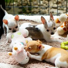 Chihuahua playing