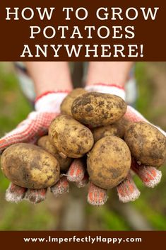 How to Grow Potatoes Anywhere - even in pots and raised beds!