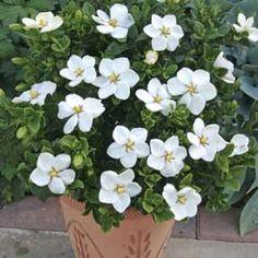 Gardenia for the front garden