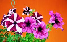 Flores de Primavera - Petunias