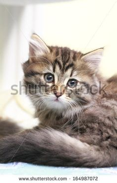 brown puppy,siberian cat at two months, sold on @Shutterstock