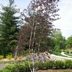 Birch, Crimson Frost - This hybrid River Birch is loved for its burgundy-red foliage, multi-stemmed habit and highly ornamental white peeling bark. Slightly smaller than the species, this tree will reach a maximum landscape height of about 25-30′.