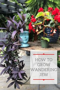 Tradescantia Pallida Care - Purple Heart or Wandering Jew