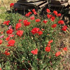 Poppies spotted on a neighborhood walk! Nothing brightens a day like an unexpected splash of color. #flowers #wildflowers #nature #growtherainbow #savethebees #seedles