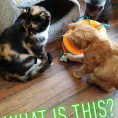 #catsrule #catsofinstagram Instagram News, Cats Of Instagram, Cat Cafe, Dogs, Animals, Animales, Animaux, Doggies, Animal