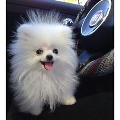 Things we all admire about the Cute Pomeranian Dogs Find Out More On Small Pomeranian Puppies Spitz Pomeranian, Cute Pomeranian, Pomeranians, Happy Animals, Cute Funny Animals, Animals And Pets, Baby Puppies, Cute Puppies, Dogs And Puppies